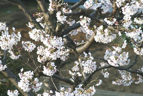 L-2009桜と小鳥-1.jpg