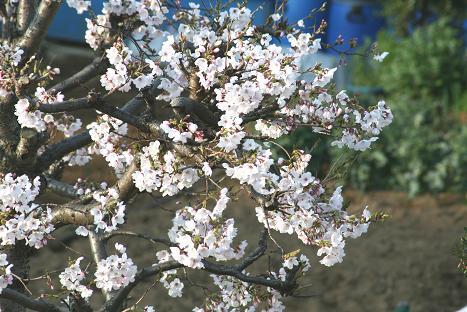 L-2009桜と小鳥-3.jpg